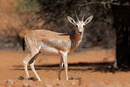 arabian sand gazelle