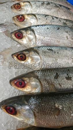 fresh fish on ice for refrigeration