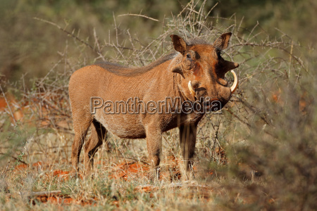 warthog in natural habitat