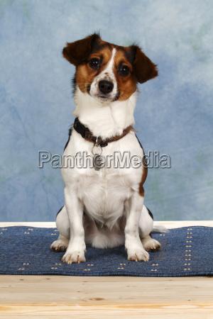 jack russel terrier hybrid sitting