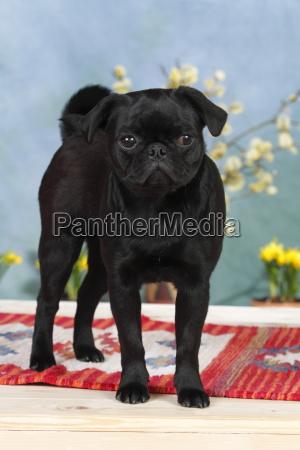 black pug dog is standing on