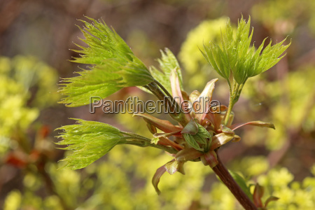 leaf shoot in norway maple acer