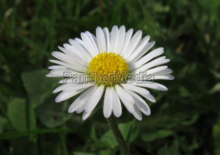 daisies bellis perennis blossom english daisy