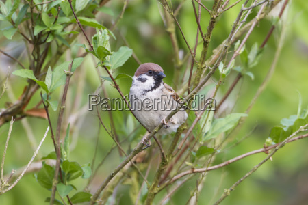 field sparrow passer montanus