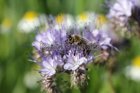 bee apis sp foraging purple flower
