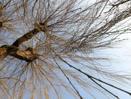 bald weeping willow from below