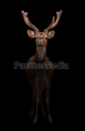 male axis deer in the dark