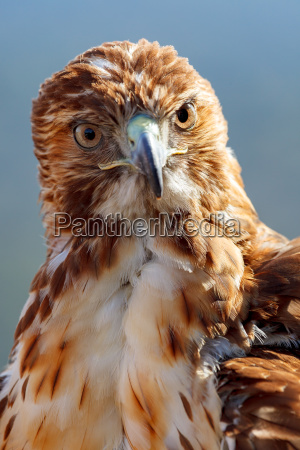 eagle of red tail buteo jamaicensis
