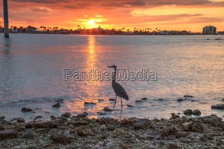 tall great blue heron ardea herodias
