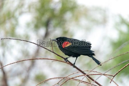 red winged blackbird agelaius phoeniceus perches