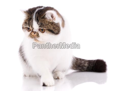 beautiful purebred cat kitten portrait