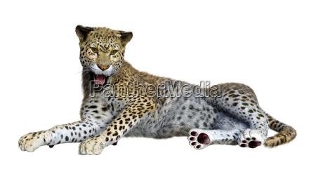 3d rendering big cat leopard on