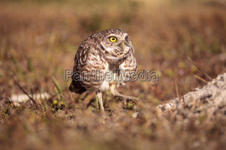 burrowing owl athene cunicularia perched outside