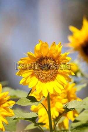 bright yellow vincent fresh sunflower helianthus