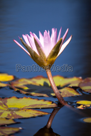 blue star water lily nymphaea nouchali