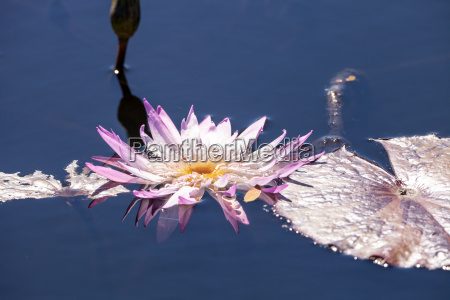 pale purple water lily nymphaeaceae blossoms