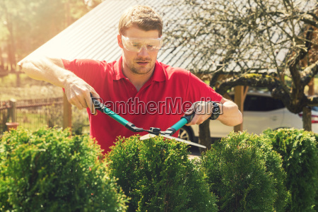 professional male gardener pruning hedge at