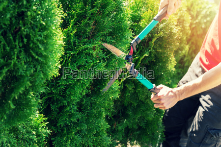 cutting thuja tree with garden hedge