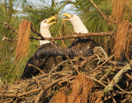 bald eagles haliaeetus leucocephalus engaging in