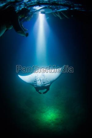 manta ray swimming underwater at night