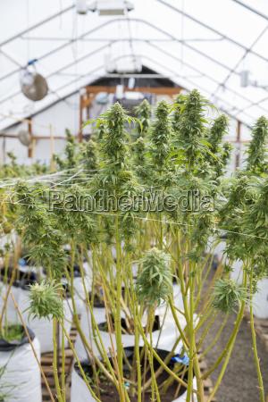 legal hot house indoor cannabis grow