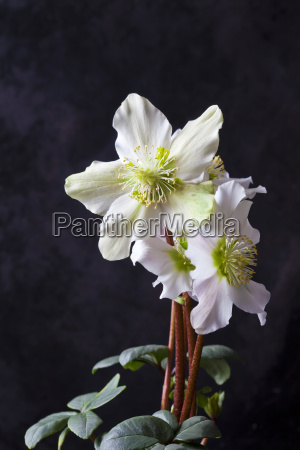 christmas rose in front of dark