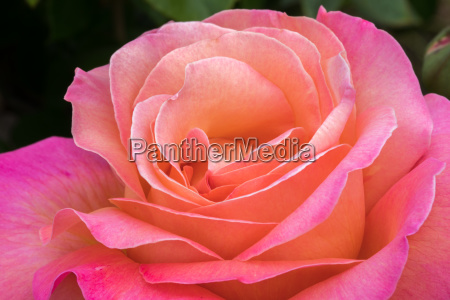 pink and peach hybrid tea rose