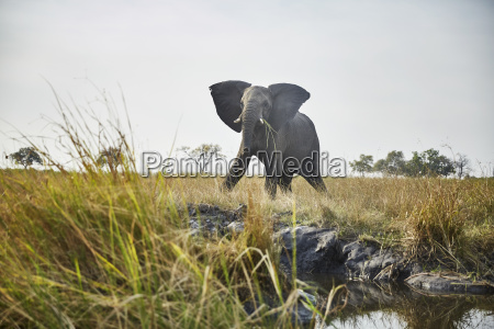 namibia caprivi cow elephant in defensive
