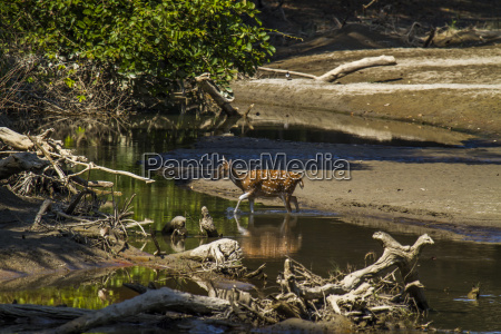 axis axis spotted deer crossing the