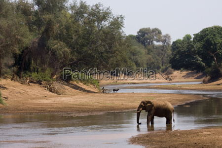 a lonely african bush elephant in