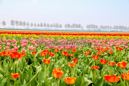 colorful tulip fields in holland in