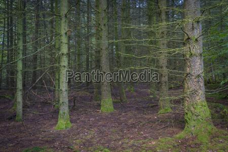 spooky spruce forest odenwald hesse germany