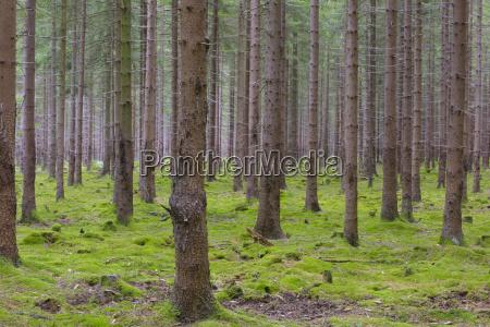 spruce forest odenwald hesse germany