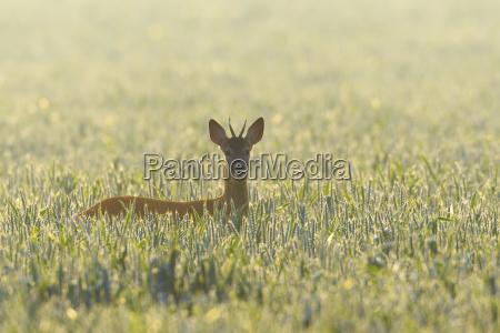 backlit portrait of western roe deer