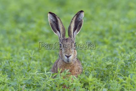 portrait of a european brown hare