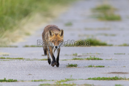 front view of a red fox