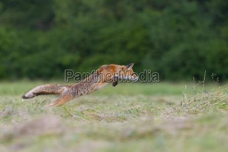 profile of red fox vulpes vulpes