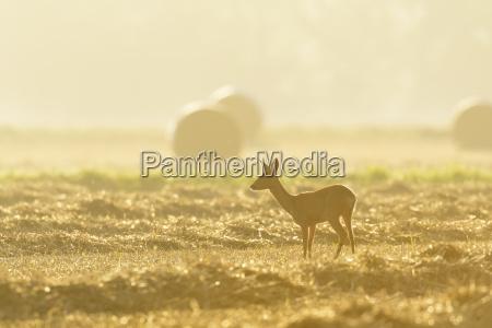 female western roe deer capreolus capreolus