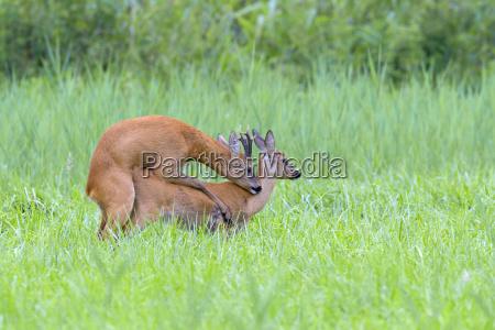 western roe deers capreolus capreolus mating