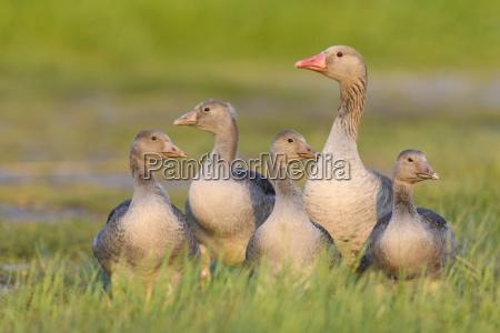 female greylag goose anser anser with