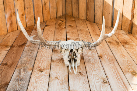 natural skull of moose on wooden