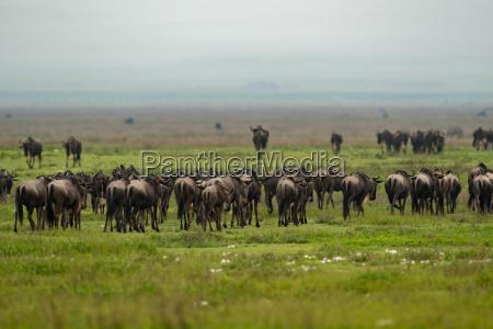 line of white bearded wildebeest migrate