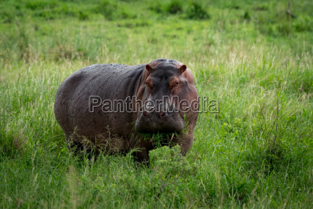 hippopotamus munching mouthful of grass on