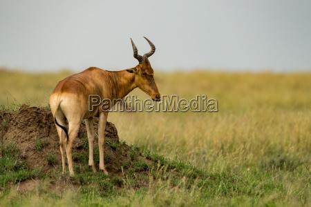 hartebeest stands on termite mound on