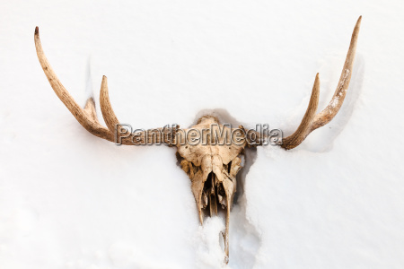 skull of young moose animal in