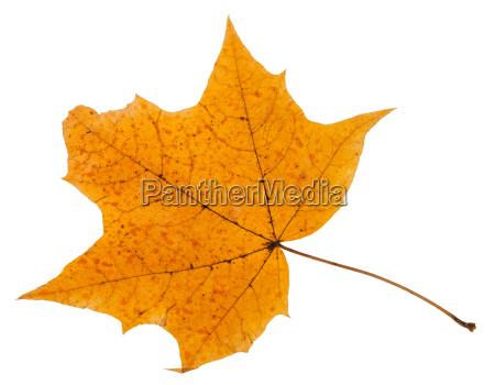 autumn leaf of maple tree isolated