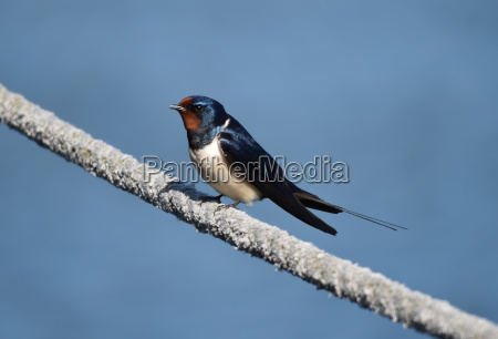 barn swallow on a rope