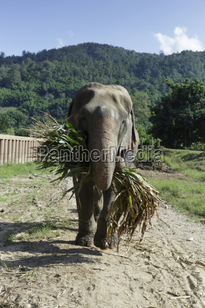 elephant carrying branch while standing at