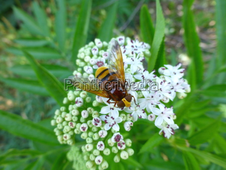 hornet mimic hoverfly sitting on a