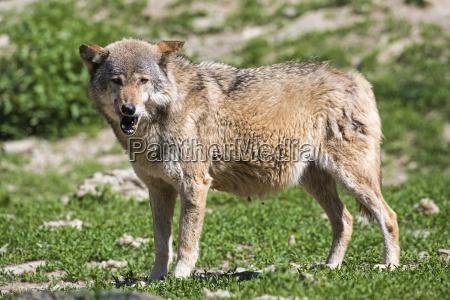wildlife wolf 2719